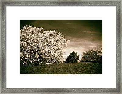 Spring Cherry In Sepia Framed Print