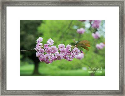 Cherry Kanzan Blossom Framed Print by Tim Gainey