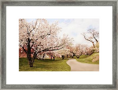 Cherry Lane Framed Print by Jessica Jenney