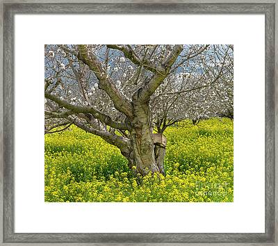 Cherry Orchard 8 Framed Print