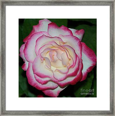 Cherry Parfait Rose 1 Framed Print