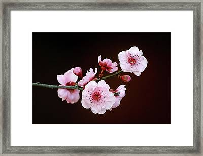 Framed Print featuring the photograph Cherry Red by Nicholas Blackwell