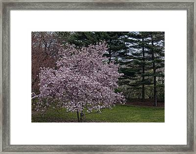 Cherry Tree And Blossoms Framed Print by Robert Ullmann