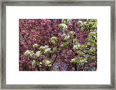 Cherry Tree And Pear Blossoms Framed Print