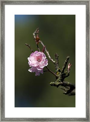 Cherry Tree Bloosom Framed Print by Alexander Rozinov