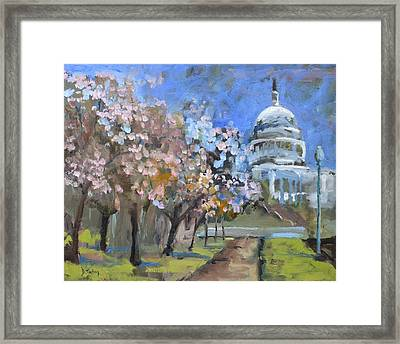 Cherry Tree Blossoms In Washington Dc Framed Print