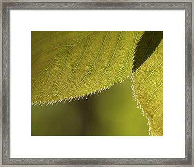 Cherry Tree Leaves -  Framed Print by Julie Weber