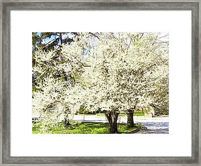Cherry Trees In Blossom Framed Print by Irina Afonskaya