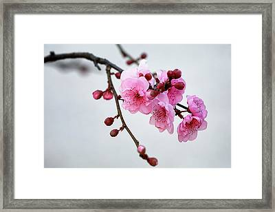 Framed Print featuring the photograph Cherry White by Nicholas Blackwell