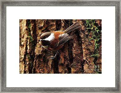 Chestnut-backed Chickadee On Tree Trunk Framed Print by Sharon Talson