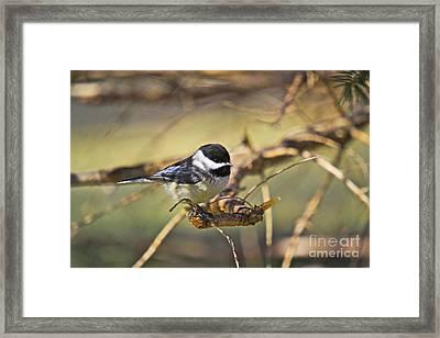 Chickadee-11 Framed Print by Robert Pearson