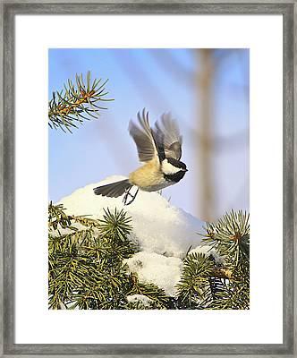 Chickadee-13 Framed Print by Robert Pearson