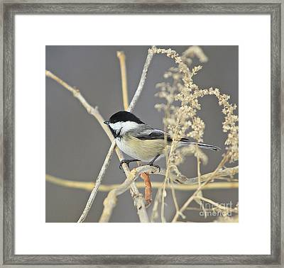 Chickadee-8 Framed Print by Robert Pearson