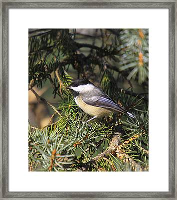 Chickadee-9 Framed Print by Robert Pearson