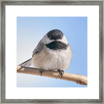 Chickadee At 5 Below Framed Print by Jim Hughes
