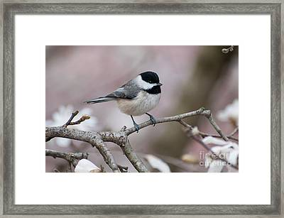 Framed Print featuring the photograph Chickadee - D010026 by Daniel Dempster