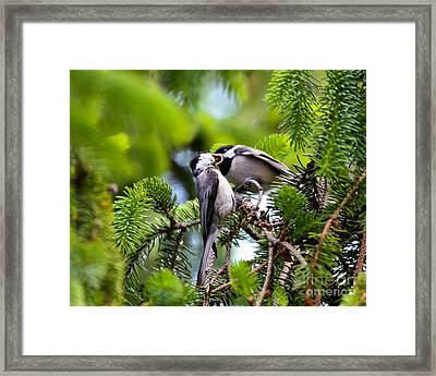 Chickadee Feeding Time Framed Print