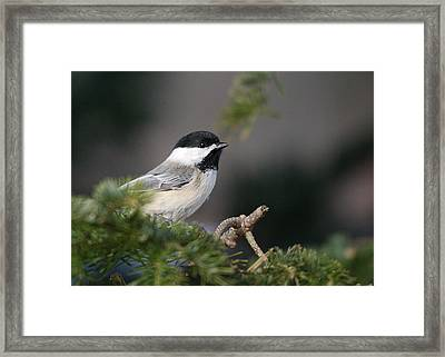 Framed Print featuring the photograph Chickadee In Balsam Tree by Susan Capuano