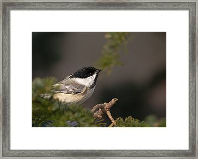 Framed Print featuring the photograph Chickadee In The Shadows by Susan Capuano