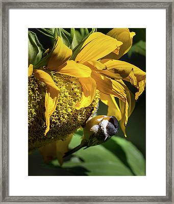 Chickadee Sunflower Framed Print by Bill Wakeley