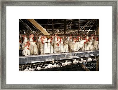 Chickens In Cages Framed Print