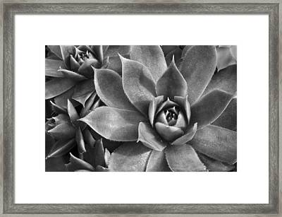 Chicks And Hens Black And White Framed Print by Ann Bridges