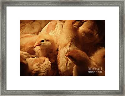 Framed Print featuring the photograph Chicks by Mary Machare