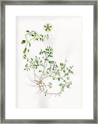 Chickweed Herb Framed Print by Doris Blessington