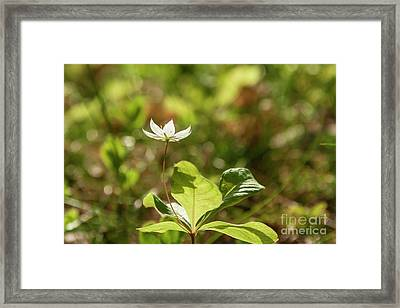 Chickweed Framed Print