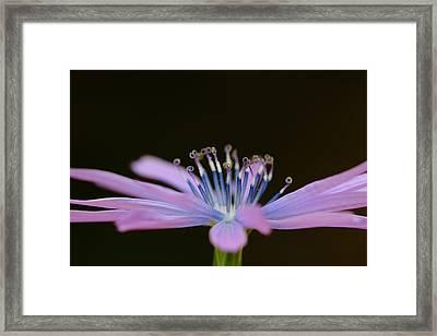 Chicory Framed Print