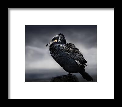 Cormorant Framed Prints