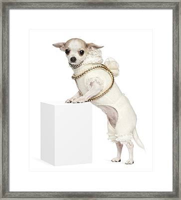 Chihuahua (2 Years Old) Standing Up Framed Print by Life On White