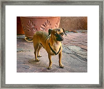 Chihuahua - Dogs Framed Print