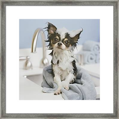 Chihuahua Puppy Wrapped In Towel On Sink, Close-up Framed Print