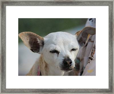 Chihuahua Snaggle Puss  Framed Print