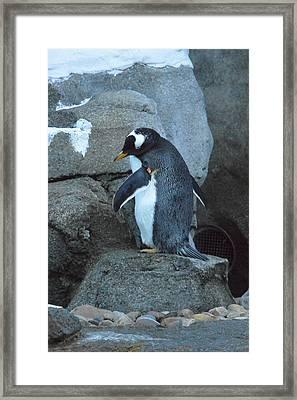 Chillaxing Penguin Framed Print