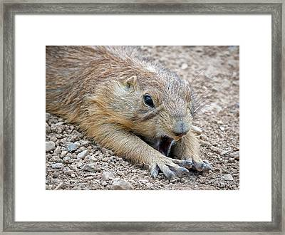 Chillin' Prairie Dog Framed Print