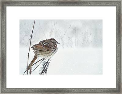 Chilly Song Sparrow Framed Print