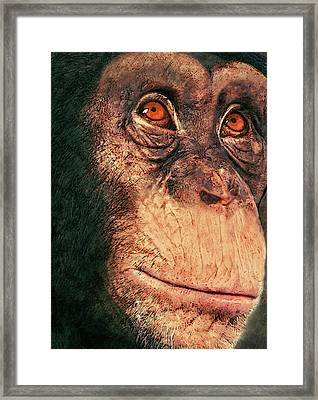 Chimp Framed Print by Jack Zulli