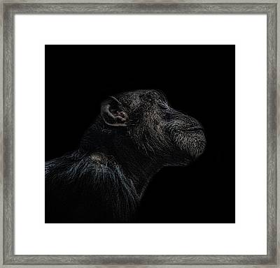 Chimp Thinking Framed Print by Martin Newman