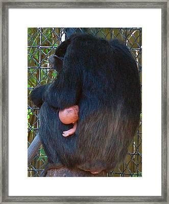 Chimpanzee Framed Print by Donna Proctor