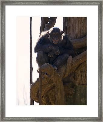 Chimpanzee In A Tree Framed Print