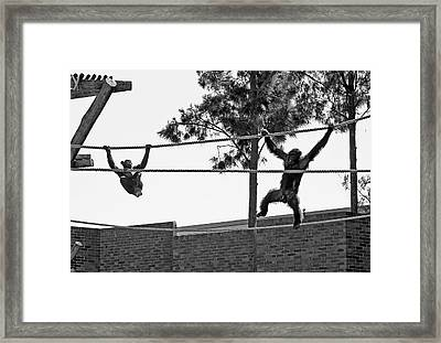 Framed Print featuring the photograph Chimps In Black And White by Miroslava Jurcik