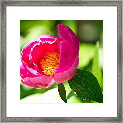 China Rose Framed Print by Edward Myers
