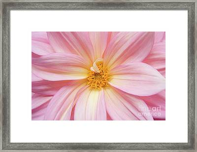 Chinese Chrysanthemum Flower Framed Print by Julia Hiebaum