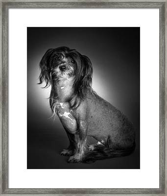 Framed Print featuring the photograph Chinese Crested - 01 by Larry Carr