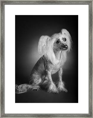 Framed Print featuring the photograph Chinese Crested - 03 by Larry Carr