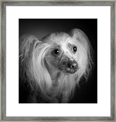 Framed Print featuring the photograph Chinese Crested - 04 by Larry Carr