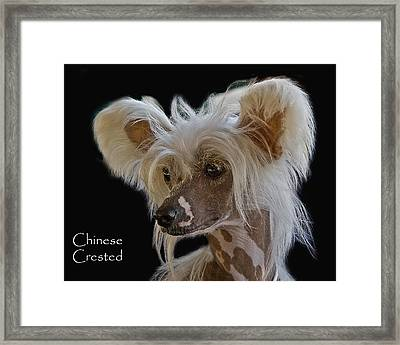 Chinese Crested Framed Print by Larry Linton