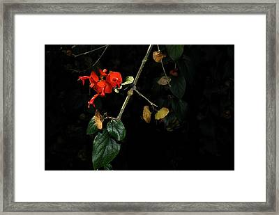 Chinese Hat Plant Framed Print